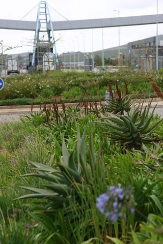 landscaping aloes and agapnthus nmblp